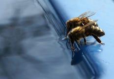 La abeja bebe el agua Fotografía de archivo libre de regalías