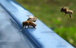 La abeja bebe el agua Foto de archivo