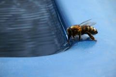 La abeja bebe el agua Fotos de archivo libres de regalías