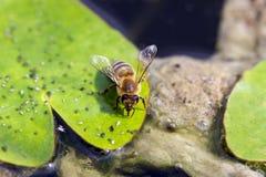 La abeja bebe el agua Imagen de archivo libre de regalías
