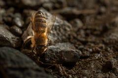 La abeja bebe el detalle del agua Imagen de archivo