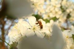 La abeja bebe el néctar del florecimiento Foto de archivo