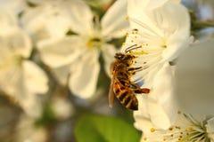 La abeja bebe el néctar del florecimiento Fotografía de archivo