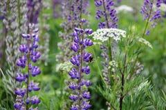 La abeja bebe el néctar del lupine Foto de archivo
