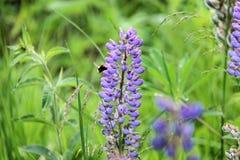 La abeja bebe el néctar del lupine Fotos de archivo libres de regalías