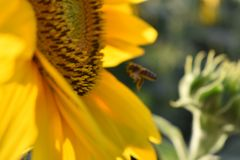 La abeja borrosa está ocultando Foto de archivo