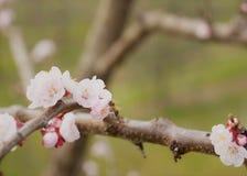 La abeja busca el néctar de flores de cerezo Foto de archivo libre de regalías