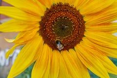 La abeja chupa el néctar en el girasol Foto de archivo