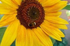 La abeja chupa el néctar en el girasol Foto de archivo libre de regalías