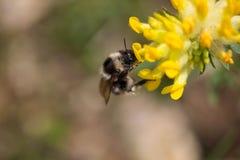 La abeja chupa el néctar en la flor Imagenes de archivo