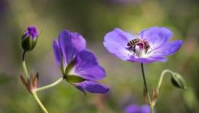 La abeja chupa la miel de la flor del geranio violeta del jardín Fotografía de archivo