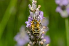 La abeja chupa una flor Imagen de archivo libre de regalías