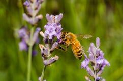 La abeja chupa una flor Fotos de archivo