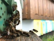 La abeja coa alas vuela lentamente a la colmena para recoger el néctar para la miel foto de archivo libre de regalías