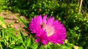 La abeja coa alas vuela lentamente a la planta, recoge el néctar para la miel en el colmenar privado de la flor almacen de video