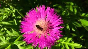 La abeja coa alas vuela lentamente a la planta, recoge el néctar para la miel en el colmenar privado de la flor metrajes