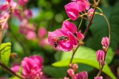 La abeja come el néctar y el polen Fotos de archivo