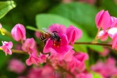 La abeja come el néctar y el polen Fotos de archivo libres de regalías