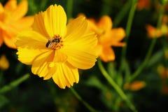 La abeja con cosmos amarillo Fotos de archivo libres de regalías