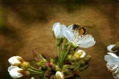 La abeja con el polen recoge en las flores de la cereza con textura foto de archivo