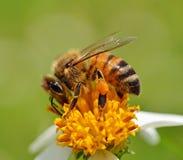 La abeja con la flor en fondo Fotografía de archivo libre de regalías