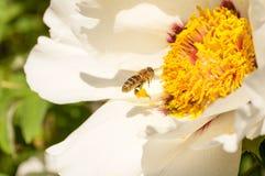 La abeja con polen en sus piernas acerca a la peonía Imagenes de archivo