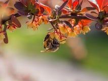La abeja cuelga de las hojas rojas Imagen de archivo