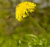 La abeja de а vuela para amarillear la flor del diente de león Fotos de archivo libres de regalías
