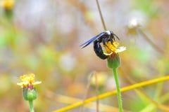 La abeja de carpintero azul se encaramó en la flor hermosa Fotos de archivo libres de regalías