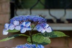 La abeja de carpintero recoge el polen en la flor de la hortensia Fotografía de archivo libre de regalías