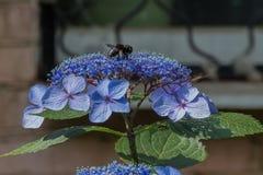 La abeja de carpintero recoge el polen en la flor de la hortensia Fotos de archivo libres de regalías