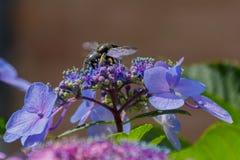 La abeja de carpintero recoge el polen en la flor de la hortensia Foto de archivo