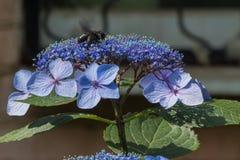 La abeja de carpintero recoge el polen en la flor de la hortensia Fotografía de archivo