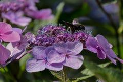 La abeja de carpintero recoge el polen en la flor de la hortensia Imagenes de archivo