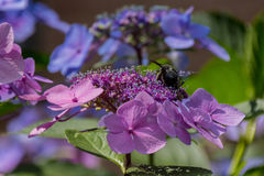 La abeja de carpintero recoge el polen en la flor de la hortensia Foto de archivo libre de regalías