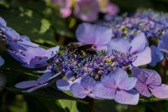 La abeja de carpintero recoge el polen en la flor de la hortensia Imágenes de archivo libres de regalías
