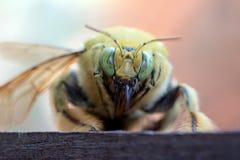 La abeja de carpintero tropical Imágenes de archivo libres de regalías