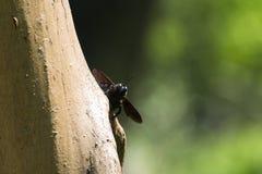 La abeja de carpintero violeta mira a escondidas hacia fuera de detrás el árbol Foto de archivo libre de regalías