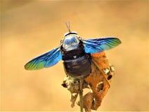 La abeja de carpintero violeta se sienta en un árbol seco Foto de archivo