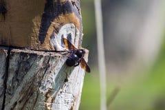 La abeja de carpintero violeta se sienta en un registro de madera Foto de archivo libre de regalías