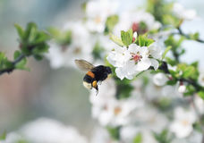 La abeja de Chubby Bumble recoge el néctar en el jardín enorme de la primavera Imagen de archivo