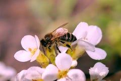 La abeja de la miel Fotografía de archivo