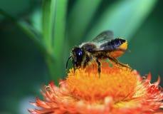 La abeja de la miel Imagen de archivo
