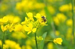 La abeja de la miel Fotografía de archivo libre de regalías