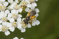La abeja de la miel cubierta en polen anaranjado en la milenrama florece, Connecticu Foto de archivo