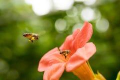 La abeja de la miel del vuelo que recoge el polen de los radicans anaranjados de Campsis florece Fotos de archivo