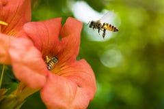 La abeja de la miel del vuelo que recoge el polen de los radicans anaranjados de Campsis florece Imagen de archivo libre de regalías