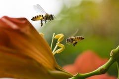 La abeja de la miel del vuelo que recoge el polen de los radicans anaranjados de Campsis florece Foto de archivo