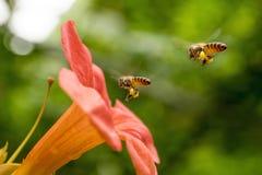 La abeja de la miel del vuelo que recoge el polen de los radicans anaranjados de Campsis florece Foto de archivo libre de regalías