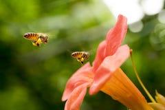 La abeja de la miel del vuelo que recoge el polen de los radicans anaranjados de Campsis florece Imagenes de archivo